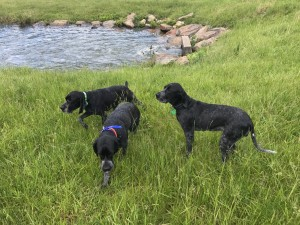 three charbonne dogs at spillway 2017